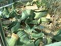Welwitschia mirabilis (2943604839).jpg