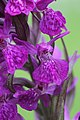 Western Marsh Orchid - Dactylorhiza majalis (17891676464).jpg
