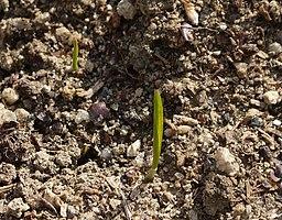 Wheat buds