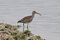 Whimbrel (Numenius phaeopus).jpg