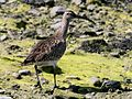Whimbrel (Numenius phaeopus) (11).jpg