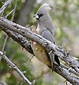 White-backed Mousebird (Colius colius) (32720456926).jpg