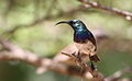 White-bellied Sunbird, Cinnyris talatala - male - at Marakele National Park, Limpopo, South Africa (16333840642).jpg