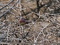 White-browed Tit Warbler (Leptopoecile sophiae) (33875709351).jpg