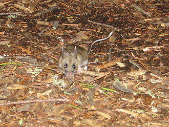 White-footed mouse - In Quetico Provincial Park, Ontario