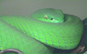 Description de l'image White-lipped viper.jpg.