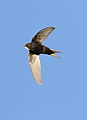 White-rumped swift, Apus caffer, at Suikerbosrand Nature Reserve, Gauteng, South Africa (22725855413).jpg