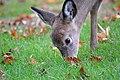 White-tailed Deer (Odocoileus virginianus) (15685869812).jpg