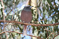White Browed Woodswallow - Artamus superciliosus (7088986763).jpg