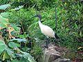 White Ibis - Flickr - GregTheBusker (1).jpg