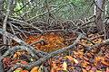 White Mangrove Roots, NPSphoto, G.Gardner (9103314756).jpg