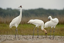 Whooping crane family on wintering grounds (5847019311).jpg