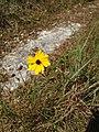 Wild Flower - panoramio (8).jpg