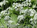 Wild garlic allium ursinum arp.jpg