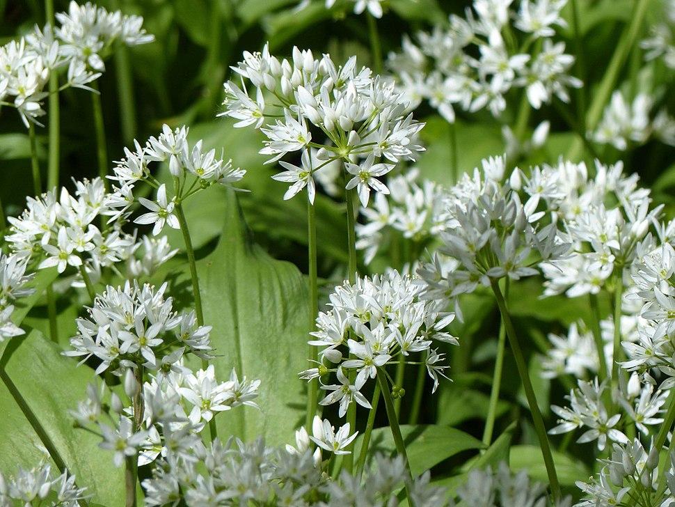 Wild garlic allium ursinum arp