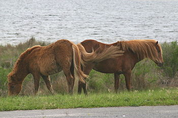 http://www.assateagueisland.com/ Assateague Is...