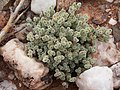 Wildflowers-Richtersveld-PICT2633.jpg