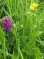 Wildflowers at Yellow Craig, near Coldingham - geograph.org.uk - 191497.jpg