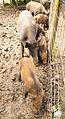 Wildpark Poing - wild boars.jpg