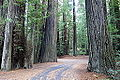 Williams Grove - Humboldt Redwoods State Park - DSC02398.JPG
