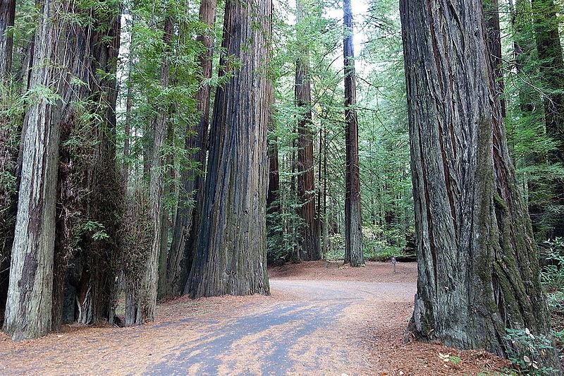 File:Williams Grove - Humboldt Redwoods State Park - DSC02398.JPG