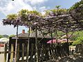 Wisteria floribunda near entrance of Mifuneyama Garden.jpg