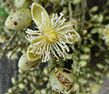 Wodyetia bifurcata flower.jpg