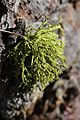 Wolf Lichen - Letharia vulpina (23340750336).jpg