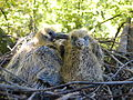 Wood Pigeon Nestlings 22.09.12.jpg