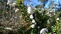 Woollsia pungens white flower.jpg