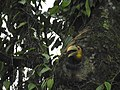 Wreathed Hornbill about the emerge from the nest cavity 03.jpg