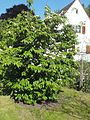 Wzwz tree 15a Cornus florida 'Cherokee Brave'.jpg