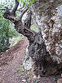 Yagur – Nesher, the Green Path – Mount Carmel 048.JPG
