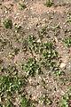 Yaiza Las Casitas - LZ-702 - Mesembryanthemum crystallinum+Patellifolia patellaris 01 ies.jpg