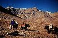Yaks Manasarovar pilgrimage trail.jpg