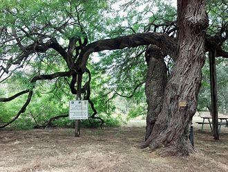 Prosopis alba - In a Botanical garden iמ Israel