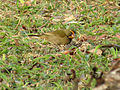 Yellow-faced Grassquit (16629425271).jpg