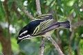 Yellow-rumped Tinkerbird.jpg