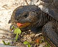 Yep^ I'm sticking my tongue out at YOU^ ( Gopher Tortoise ) - Flickr - Andrea Westmoreland (1).jpg