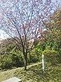 Yokohamahizakura at Mt Honmoku park 2018 (01).jpg