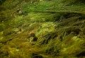 Young Aquatic fungus champignonAquatique à lamelles Moyenne-Deûle mai 2015 F.Lamiot 07.jpg