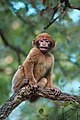 Young Barbary macaque.jpg