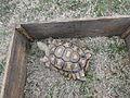 Young sulcata tortoise (2), Valdosta.JPG
