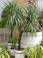 Yucca gloriosa0.jpg