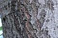 ZIMG 2626-Notholithocarpus densiflorus.jpg