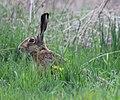 Zając szarak w trawie 02.jpg