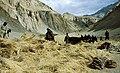 Zanskar threshing.jpg