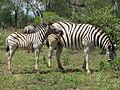 Zebra and foal.JPG