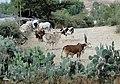 Zebus in Ethiopia 01.jpg