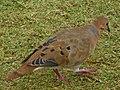 Zenaida aurita (Columbidae).jpg